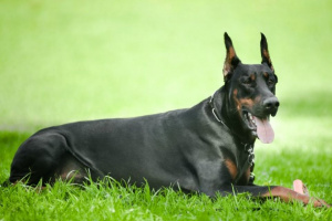 Infección Rickettsial en perros