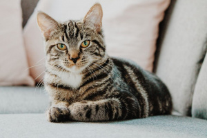 Anemia megaloblástica (anemia, defectos de maduración nuclear) en gatos