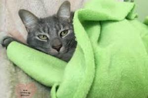 Encías agrandadas en Gatos