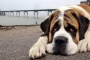 Tumor hepático (adenoma hepatocelular) en perros