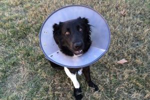 Dischezia y hematochezia en perros
