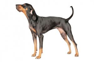 Coonhound negro y marrón