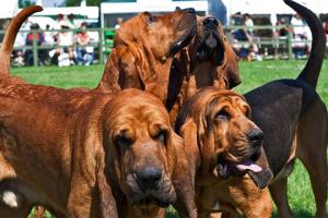 Perros que aúllan: 5 razas de perros conocidas por el aullido