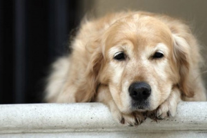 Cáncer de hígado en perros: síntomas, causas y tratamientos