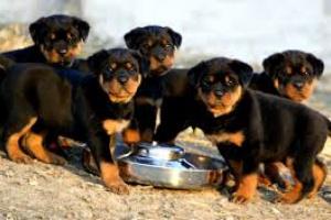 Pautas de alimentación del cachorro