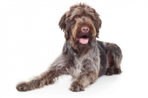 La vesícula biliar y la inflamación del conducto biliar en perros