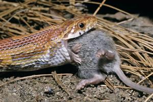 Consejos para alimentar a su serpiente y mantenerla sana