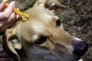 Guía esencial para la enfermedad de Lyme en perros