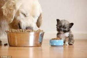 Infección del estómago con Helicobacter en perros