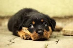 Tumor de las meninges en perros