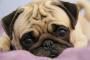 5 razas de perros pequeños que son aptas para niños
