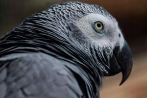 Algunos hechos acerca de los loros grises africanos