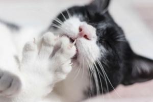 Trastornos de uñas y garras en gatos