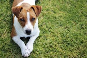 ¿Donarías el cuerpo de tu perro a un programa de educación veterinaria?