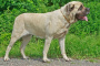 Cáncer de hueso (condrosarcoma) en perros