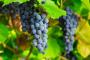 Envenenamiento por uvas y pasas en perros