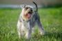 Obstrucción del conducto biliar en perros