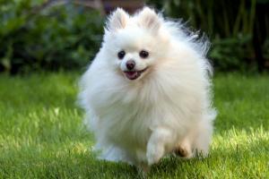 Bloque cardíaco (Mobitz tipo I) en perros
