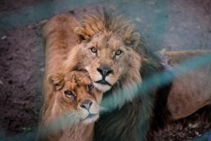 La familia de los leones atrapada en el zoológico de pesadilla se ayudó mutuamente a mantenerse viva