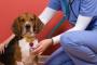 Protrusión masiva del área vaginal en los perros