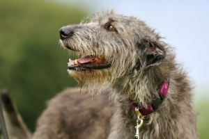 Corazón agrandado (miocardiopatía dilatada) en perros