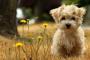 Topetones en la piel (dermatosis papulonodulares) en perros