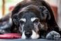 Piedras en la vejiga en perros: ¿Cuáles son los signos y cómo tratarlos mejor?