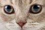 Sangre en el frente del ojo en gatos