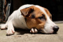 Tumores cerebrales en perros: síntomas, causas y tratamientos.