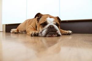 ¿Los perros sueñan? Si es así, ¿qué sueñan los perros?.