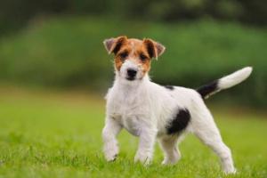 ¿Cómo se trata la enfermedad del gusano del corazón en los perros?