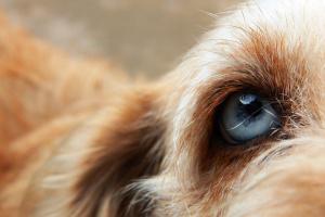 Parásito ocular que puede causar ceguera en perros está haciendo titulares.