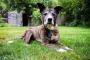 Cáncer de próstata (adenocarcinoma) en perros