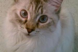 Gato del Bosque Siberiano