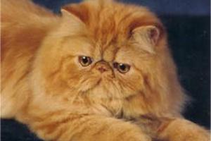 Coriorretinitis en Gatos