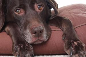 Ascitis en perros: síntomas, causas y tratamientos.