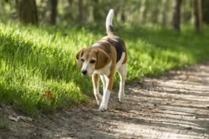 Pérdida de equilibrio (marcha desbalanceada) en perros