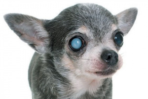 Hablando sobre SARDS y otras enfermedades de los ojos de perro