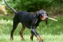 Parálisis Coonhound en perros