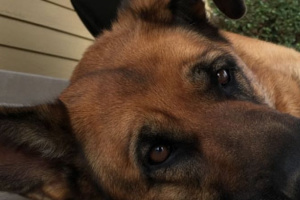 Su mascota y la conjuntivitis