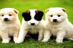 Inflamación del estómago (atrófico) en perros