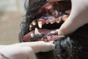 Gingivitis en perros: síntomas, causas y tratamientos.