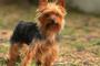 Trastorno cerebral debido a enfermedad hepática en perros