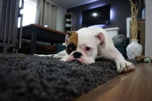 ¿Por qué mi perro ... cava en la alfombra?