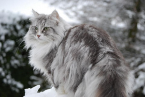 Gato de bosque de Siberia