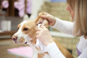 ¿Cómo limpio las orejas de mi perro?