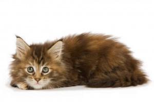 Deficiencia de coagulación (relacionada con el hígado) en gatos
