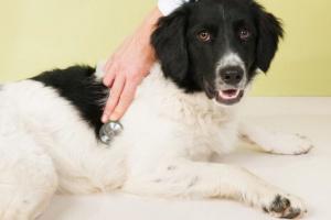 Cardiomiopatía en perros: Síntomas, causas y tratamientos.
