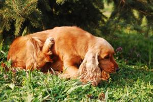 ¿Podría su perro sufrir una infección de levadura?.