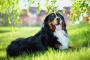 Perro de montaña de Bernese
